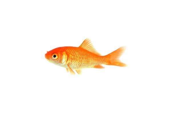 金魚の子供の写真素材