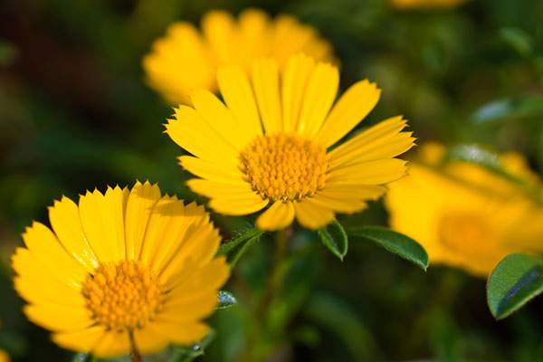 黄色く咲く花