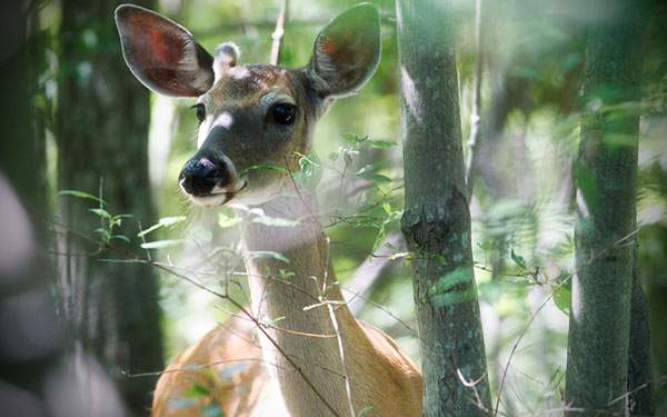森の中の鹿を撮影した美しい写真壁紙画像