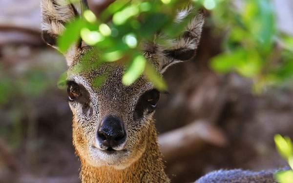 カメラ目線でつぶらな瞳のかわいい鹿の写真壁紙画像