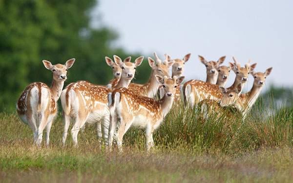 一斉にこっちを見るたくさんの小鹿達のかわいい写真壁紙
