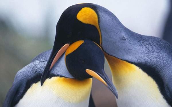 寄り添う二羽の皇帝ペンギンの写真壁紙画像