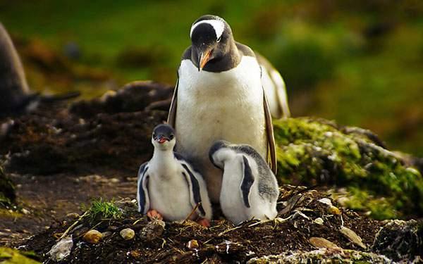 ペンギンの親子を撮影した高画質な壁紙画像