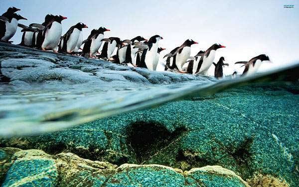 ペンギンの群れが海に飛び込んでいく様子水面から撮影した写真