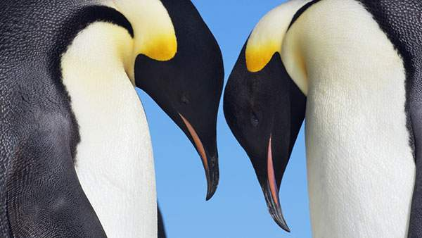 頭を合わせる二羽の皇帝ペンギンのかわいい壁紙画像