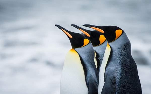 キリっと斜め前を向く皇帝ペンギンたちの綺麗な写真壁紙