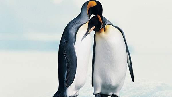 雪景色の中で仲良く寄り添う二羽の皇帝ペンギン