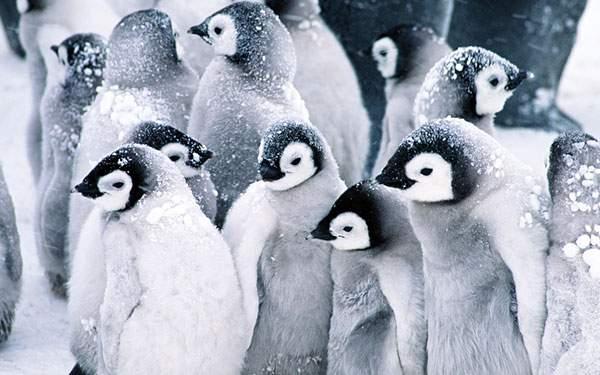 雪をかぶった赤ちゃんペンギンの群れ