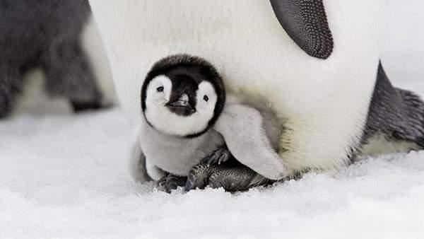 お母さんの足元で温まる赤ちゃんペンギンのかわいい壁紙画像