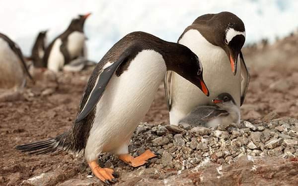 岩場のペンギンの親子を撮影したかわいい写真壁紙画像