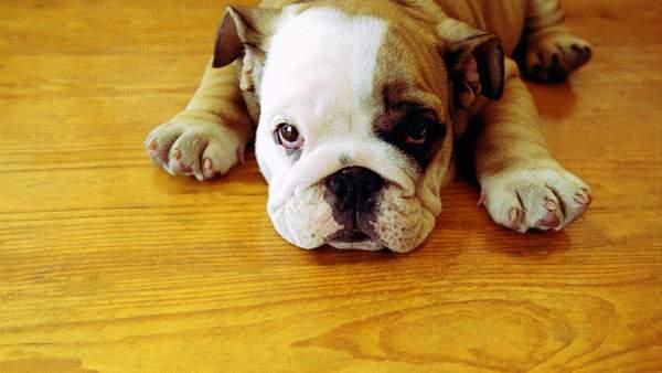 床に伏せて上目遣いなブルドッグを撮影した可愛い写真壁紙画像