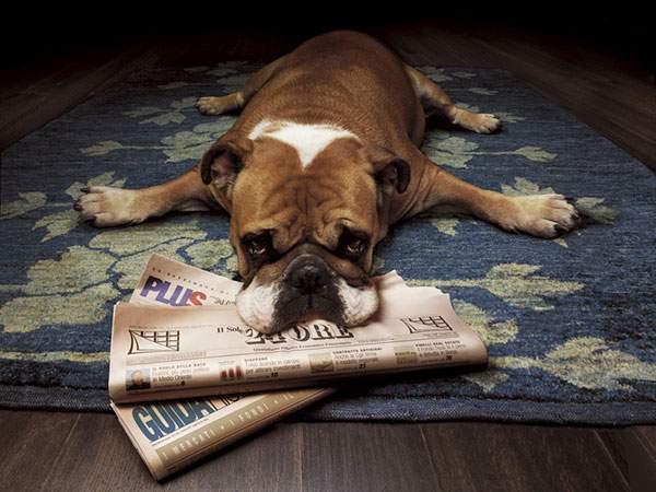 新聞をくわえて絨毯の上に伏せるブルドッグの可愛い写真壁紙画像