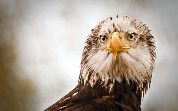 こっちをしっかり見つめる鷲を正面から撮影したかっこいい写真壁紙
