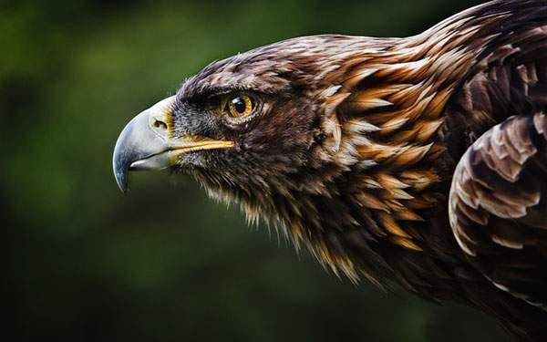鋭い眼光の鷲の横顔を撮影したかっこいい写真壁紙画像