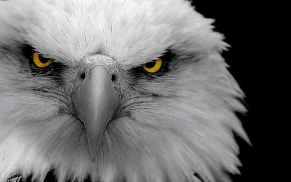 白頭鷲の動物壁紙