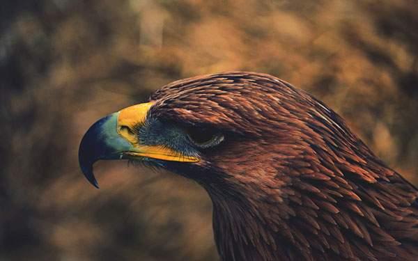 大きなくちばしを持った鷲の横顔を撮影したかっこいい壁紙画像