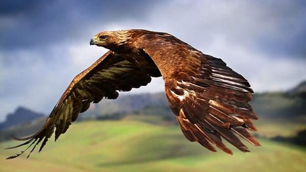 大きな羽を広げて空を飛ぶ鷲の高画質な写真壁紙画像