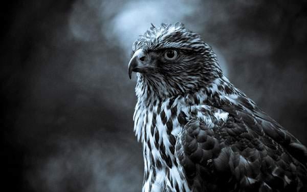 かっこいい鷲をブルー系のモノクロの色合いで撮影した写真壁紙画像