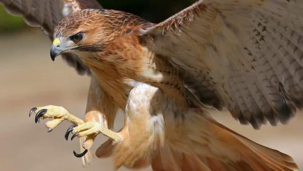 獲物を捕まえようと爪を出す鷲のかっこいい写真壁紙画像