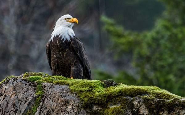 苔のついた岩の上で周りを見渡す鷲の写真壁紙画像