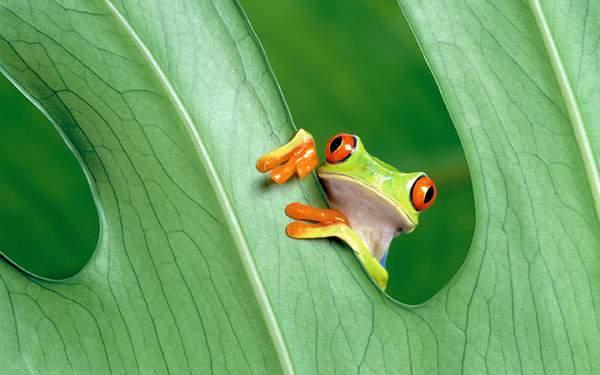 葉っぱに掴まってこっちを覗くカエルの可愛い写真壁紙画像
