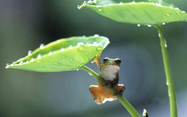 葉っぱの傘の影に身を隠すカエルの可愛い写真壁紙画像
