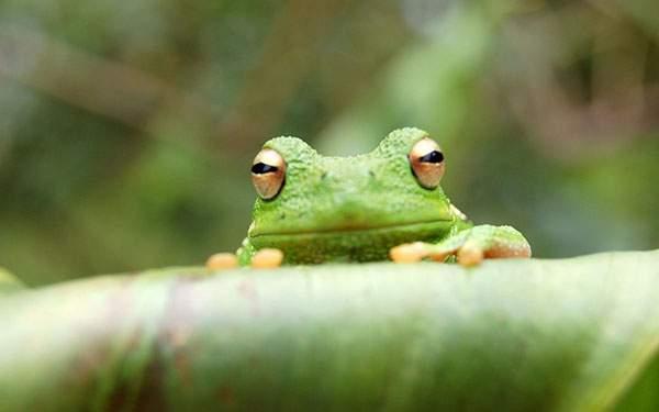 葉っぱに掴まってこっちを覗くカエルを正面から撮影した写真壁紙画像