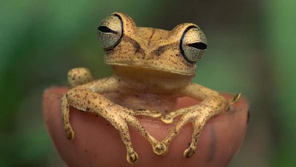 お風呂に入っているみたいなポーズが可愛い茶色のカエルの写真壁紙