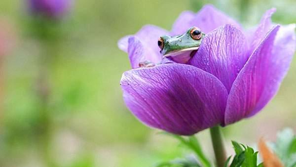 花の中に入ったカエルを撮影した美しい写真壁紙画像