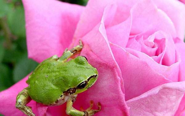 ピンクの薔薇と緑のカエルのコントラストが綺麗な写真壁紙画像