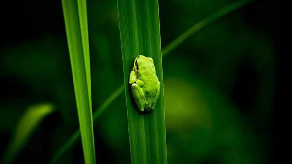 葉っぱに掴まって小さくなるカエルの可愛い写真壁紙画像