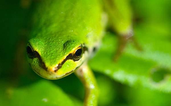 カエルをアップで撮影した鮮やかな緑が美しい写真壁紙画像
