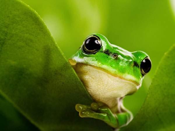 葉っぱの隙間からこっちをの覗くつぶらな瞳が可愛いカエルの写真壁紙画像