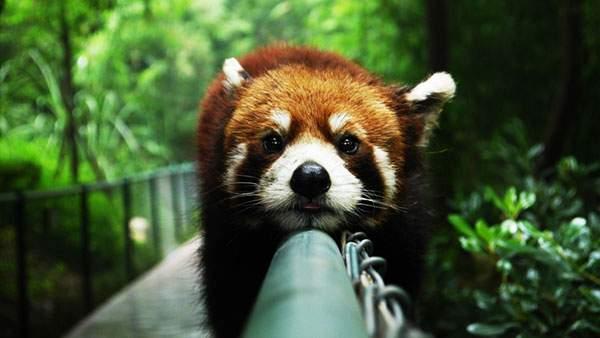 フェンスの上でまったりするレッサーパンダの可愛い写真壁紙