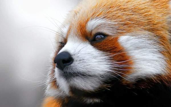 たそがれた表情のレッサーパンダをアップで撮影したクールな写真壁紙画像