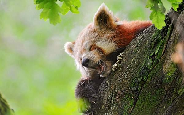 木の上で大あくびをするレッサーパンダの可愛い過ぎる写真壁紙画像