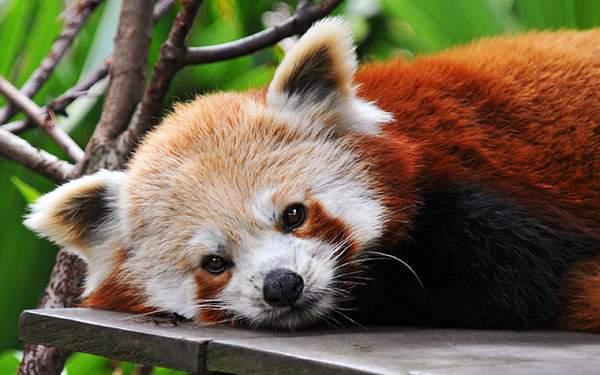 横になりながらつぶらな瞳でこっちを見つめるレッサーパンダの可愛い写真壁紙