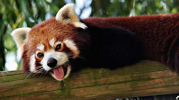 舌を出してイタズラっぽい表情のレッサーパンダの写真壁紙画像