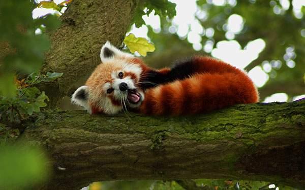 木の上で丸くなりながら変顔のレッサーパンダの写真壁紙画像