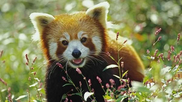 花と笑ってるような表情のレッサーパンダを撮影したカワイイ写真壁紙