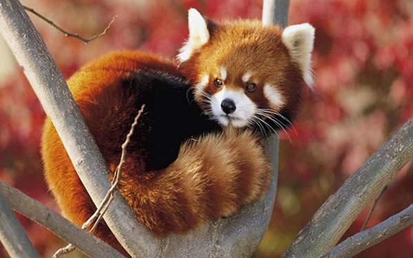 紅葉をバックに木の上で丸くなるレッサーパンダを撮影した美しい写真壁紙画像