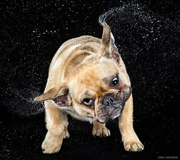 犬がブルブルする瞬間を撮影した写真作品 - 06