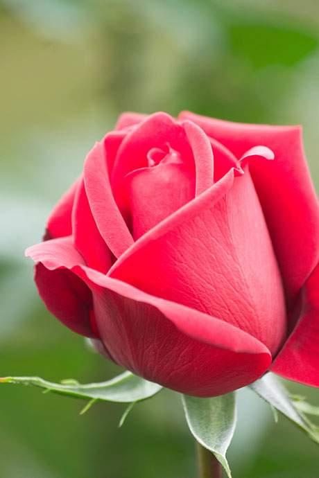 コンラッドヘンケル(薔薇)