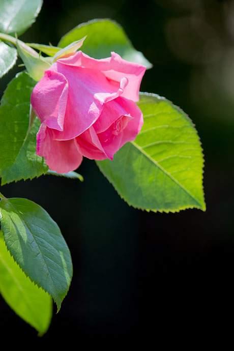 黒に強調されるピンクの薔薇