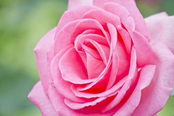 エスメラルダの薔薇