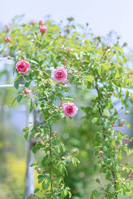 咲き始める薔薇