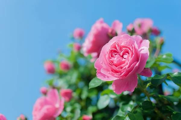 青空とつるバラ