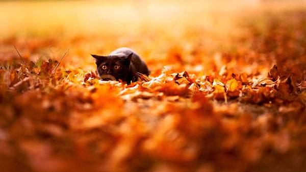 地面の紅葉の中で身をかがめる黒猫を撮影した写真壁紙画像