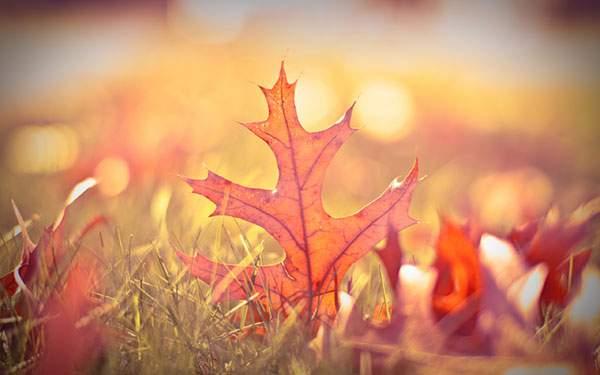 草の上の紅葉したカエデの葉を撮影した写真壁紙画像