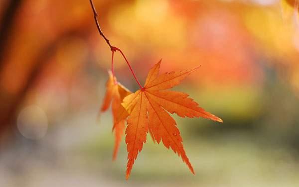 オレンジ色に染まったもみじの葉を撮影した写真壁紙画像